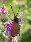 Six-spot Burnet Teggs Nose 600 72 Dpi Jjc